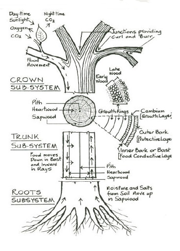 diagram of the inside a tree trunk